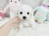日系柴犬旗艦店-比熊-13000起(可刷卡)