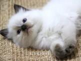 小布偶 ~❤家寶魔力布偶貓❤~