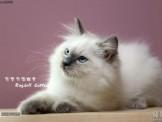 附國際 TICA協會綠單小布偶 ~❤家寶魔力布偶貓❤