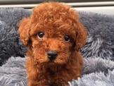 💕💕紅貴賓寶寶💕💕超萌迷你🐩優質品犬💯