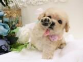 ❇寵物時光❇日系甜美 奶油玩具茶杯貴賓 Teacup Poodle