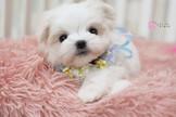 ◆有你真好 真正優質安心賣家 本汪實際拍攝 絕無修圖◆ 超頂級 高品質迷你 臉蛋精緻甜美 Maltese
