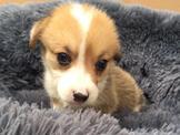 💕💕正宗純種💕💕黃白對花🐶優質品犬科基犬💯