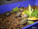 紅腿象龜 5-7公分