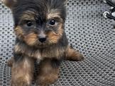 💕💕正宗純種💕💕日系超萌精緻甜美🐶優質品犬 約克夏弟弟💯