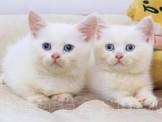 萌娜麗莎貓舍~降價囉!!藍色與白色藍眼的曼赤肯寶寶可選~讓我們一起加入短腿家族吧^^