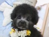 ❇寵物時光❇日細短吻甜美 灰色玩具茶杯貴賓 Teacup Poodle