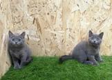 品種 :英國短毛貓  性別:公.母