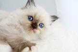 高貴漂亮的~藍眼布偶貓~特價中~提供現金分期服務~可刷卡~