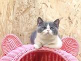 品種/名稱:加菲貓   性別:公