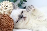 高貴漂亮的~藍眼重點色加菲貓~特價中~