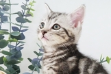 ~漂亮可愛銀白/橘色/美國短毛貓~特價中~可刷卡~可現金分期