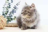 ~漂亮可愛藍奶油波斯貓~特價中~可刷卡~可現金分期
