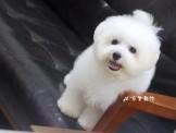 棉花糖 比熊犬❤家寶寵物❤