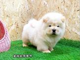 澎獅獅的奶油小獅子(獅子)  品種:#鬆獅犬(#ChowChow)