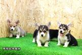 冠軍🏆血統優質🥇柯基犬(Corgi)寶寶