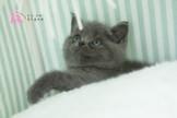 ☀有你真好☀推薦給 懂 美 的你 藍金重點色、藍白雙色重點 英國短毛貓