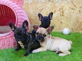 ❤安心賣家❤ 法國鬥牛犬(French Bulldog)