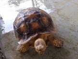 43公分蘇卡達象龜,合法有證