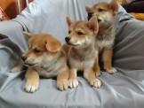 柴(ㄔㄞˊ)犬(ㄑㄩㄢˇ)