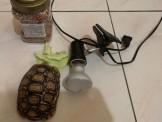 肯亞豹龜 4000