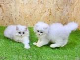 ❤心賣家❤金吉拉(Chinchilla cat)