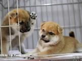 純正日本血統赤柴犬 ❤家寶寵物❤
