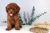 漂亮迷你紅貴賓幼犬~可刷卡~可分期~可振興卷~通過安心賣家認證~另有其他幼犬