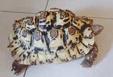 ❤大白豹母❤背甲36公分 健康大食