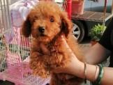 紅貴賓幼犬 ..【本尊照片】妹妹28000