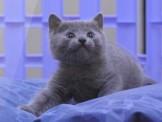 ●安心賣家~最高星評價~實體店面~俄羅斯藍貓
