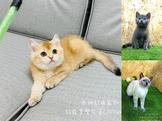 ❤安心賣家❤ 品種:英國短毛貓