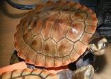 特大紅腹側頸龜 圓澳龜(全身超過15公分龜殼10公分) /  適合與魚混養 龜類