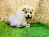 ❤安心賣家❤品種:#鬆獅犬(#ChowChow)