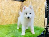 ❤安心賣家❤🐶品種/名稱:#薩摩耶犬