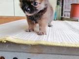 長毛吉娃娃幼犬【本尊照片】弟弟10000