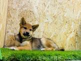 ❤安心賣家❤ 日本柴犬