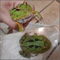 蝴蝶角蛙公成體,買一送一