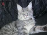 《送好禮》◆刷卡分期◆高端緬因貓預定搶先選
